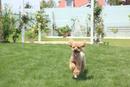 芝生の庭を走る犬