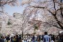 西公園の桜 宮城県