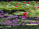三郷地区 室山池のスイレンと水面に映るアジサイ