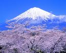 大石寺よりサクラと富士山