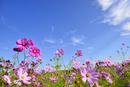 コスモスの花と青空に雲