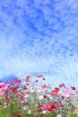 当間(あてま)高原 コスモスの花とうろこ雲