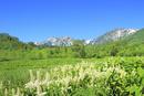 栂池自然園に咲くコバイケイソウの群落と白馬三山