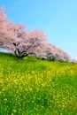 サクラ並木とナノハナ