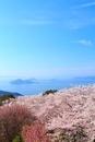 紫雲出山のサクラと瀬戸内海