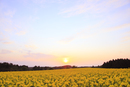 ナノハナ畑と夕日