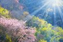 桜の花と新緑に光