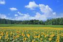 津南のヒマワリ畑