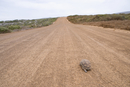 Turtle crawling along deserted dirt road