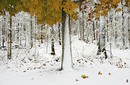 View of snowcapped forest with colorful autumn leaves