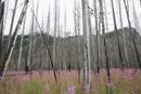 Fireweed growing below dead trees