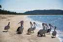 Flock of pelicans on beach, Cowley Beach, Australia
