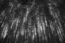 Dense bamboo forest, Kyoto, Honshu, Japan