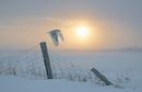snowy owl flight at dawn