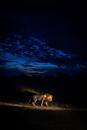 Lion (Panthera leo) walking at night, South Africa