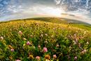 Clover flower meadow, Suceava County, Bukovina, Romania