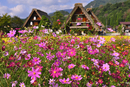 Pink wildflowers in old village, Japan