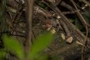 Little brown lizard on tree bark