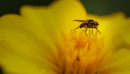 Close-up of fly on yellow flower, UK