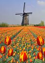 Tulip field against windmill