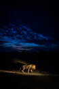 Lion (Panthera leo) walking at night, South Africa