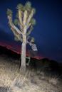 Side view of man climbing Joshua tree at dusk