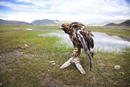 Falcon perching in plain