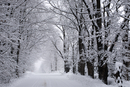Winter storm, snow covered trees in soft grey light