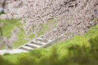 桜と菜の花が咲いている土手