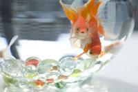 金魚 07800006170| 写真素材・ストックフォト・画像・イラスト素材|アマナイメージズ