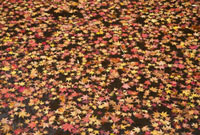 水に浮かぶ紅葉