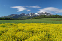 大雪山と菜の花畑