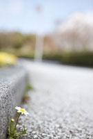 道端に咲いているノースポール