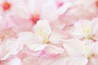 桜の花びらのアップ