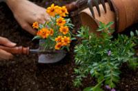 苗を植える手