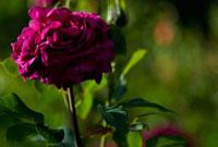 バラ 07800018242| 写真素材・ストックフォト・画像・イラスト素材|アマナイメージズ