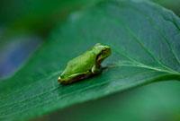 葉の上のカエル 07800019603| 写真素材・ストックフォト・画像・イラスト素材|アマナイメージズ
