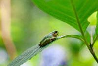 葉の上のカエル 07800019604| 写真素材・ストックフォト・画像・イラスト素材|アマナイメージズ
