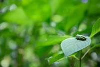 葉の上のカエル
