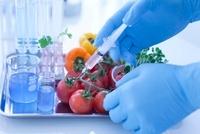 トマトの遺伝子組み換え実験をする研究者の手元