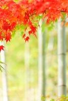 もみじと竹林 07800022533| 写真素材・ストックフォト・画像・イラスト素材|アマナイメージズ