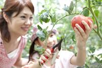 トマトを収穫する親子