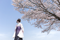 桜を見上げる袴姿の女子大生