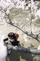 桜と小学生 07900000041| 写真素材・ストックフォト・画像・イラスト素材|アマナイメージズ