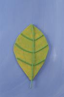 ワイヤーで作った葉っぱ 09501011210| 写真素材・ストックフォト・画像・イラスト素材|アマナイメージズ