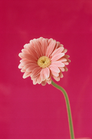ガーベラ 09501012881| 写真素材・ストックフォト・画像・イラスト素材|アマナイメージズ