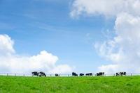 青空の放牧牛