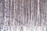 冬の木々 09508000189| 写真素材・ストックフォト・画像・イラスト素材|アマナイメージズ