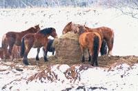 冬の馬 09508000200| 写真素材・ストックフォト・画像・イラスト素材|アマナイメージズ