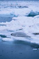 クラカケアザラシと流氷